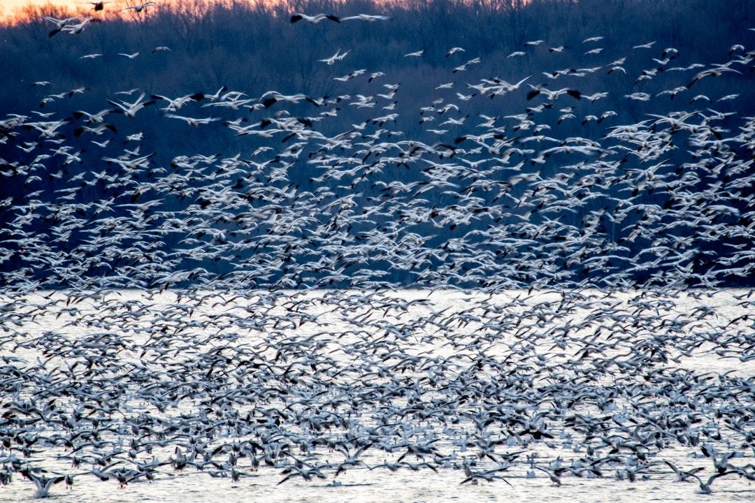 bird-swarm